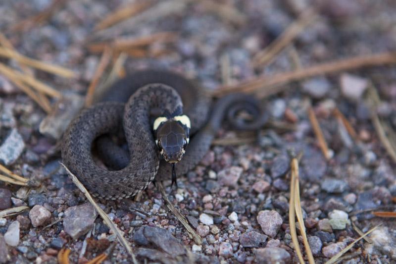 tyfors_overjord_snake